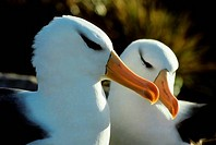 FALKLAND ISLS.,NEW ISLAND, BLACK_BROWED ALBATROSS PORTRAIT