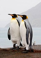 Two King penguins Aptenodytes patagonicus standing on the beach