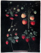 STRAWBERRIES.Varieties of strawberry, including the Hoboy, the Chili strawberry, the Scarlet Alpine, and the Scarlet-Flesh Pine. Aquatint, 1812, by Ge...