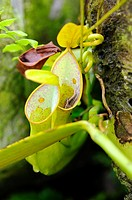 Nepenthes pitcher plant. Orchid Garden, Kuching, Sarawak, Malaysia