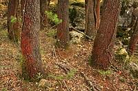 Forest of holm oak (Quercus ilex) on the Muela de Cortes, Valencia province, Comunidad Valenciana, Spain
