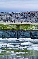 Adelie Penguins on an island covered in green Snow Algae, cryoalgae.