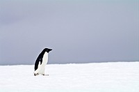 A lone Adelie Penguin marches across a snowy plain.