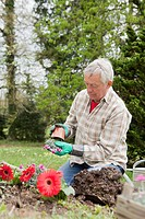 Older man planting flowers in backyard