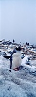 A rookery of Gentoo Penguin chicks nesting on a snowy mountaintop.