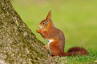 Red squirrel, Sciurus vulgaris, Hesse, Germany, Europe