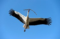 Flying white stork with nest-material, Ciconia ciconia, Hesse, Germany