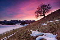 oak tree and dawn in the allgäu, bavaria, germany with view on the european alps
