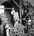 KENTUCKY: TOBACCO SHED.Hanging tobacco in shed for curing at Lexington, Kentucky. Stereograph, c1900.