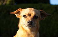 Portrait of mixed breed Chihuahua and Dachshund.