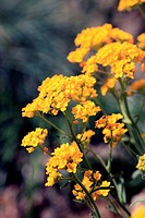 shower of gold or allysum saxatile perennial of the family Cruciferae