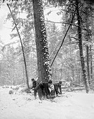 MICHIGAN: LUMBERJACKS.Chopping down tress during the winter in Michigan. Photograph, c1880-1899.
