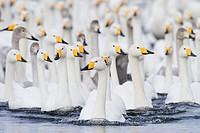 Whooper swans swimming in lake