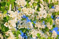 Agrarian, branch, knot, tree, pear tree, pear, pears, leaves, blossom, flourish, flower, splendour, detail, flora, spring, sky, pomes, pomes plants, a...