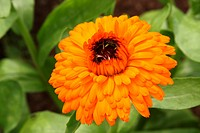 Calendula officinalis Marigold _ Medical Herb