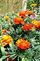 Orange marigolds Tagetes patula in the garden
