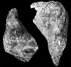 SPIRO MOUNDS: SHELLS.Engraved conch shells from Spiro Mounds, apre-Columbian Native American site in Eastern Oklahoma, inhabited from c950 untill c145...