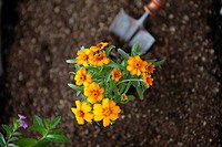 Marigold and shovel