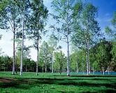 Field of white birch trees in summer, Hokkaido prefecture, Japan