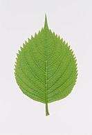 One leaf Hydrangea