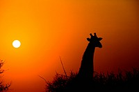Giraffe black against silhouette of sun at dawn
