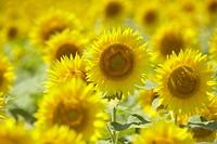Sunflowers in the field, Niigata prefecture, Japan