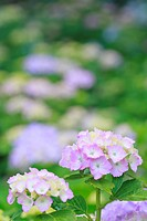 Hydrangea flowers, close up, differential focus