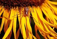 Kleine Spinne auf gelber Blüte