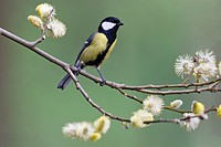 Great Tit Parus major, perched amongst willow tree catkins, Lower Saxony, Germany