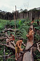 YANOMAMI AMERINDIANS, VENEZUELA AMAZONAS. Serra Parima, Orinoco river basin. . The Yanomami continue to live as tribal farmers, practising an ecologic...