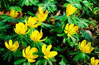Winterling 3, winter aconite