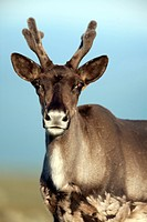 Portrait of female caribou, Mount Jacques Cartier, Gaspesie National Park, Quebec, Canada