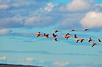 Chile Flamingo
