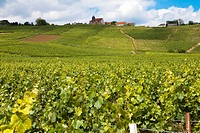vineyard in champagne, France