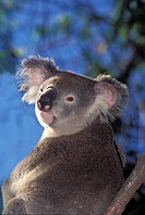 KOALA phascolarctos cinereus, PORTRAIT OF ADULT, AUSTRALIA