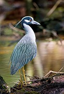 Yellow-crowned Night Heron, Francis Beidler Forest, South Carolina, USA