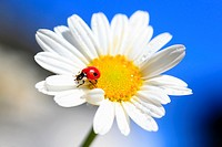 ladybird,ladybird beetle on daisy flower, Switzerland