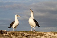 Laysan Albatross (Phoebastria immutabilis), Sand Island, Midway Atoll National Wildlife Refuge, Hawaii, USA