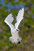 Red-billed Tropicbird (Phaethon aethereus), Sand Island, Midway Atoll National Wildlife Refuge, Hawaii, USA