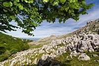 Beech trees in spring, Monte Cerredo, Castro Urdiales, Cantabria, Spain