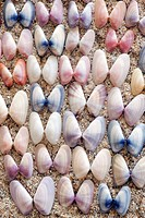 Variable Coquina Shells - Florida, USA