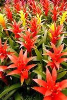 Guzmania hybr Garden Center Cambrils, Tarragona, Catalonia, Spai
