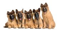 wolfpack of five puppies Belgian Tervuren