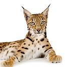 Lynx 2 years