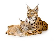 Lynx 2 years and her cub 2 mounths