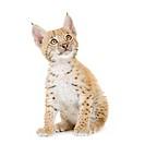 Lynx cub 2 mounths