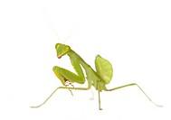 Praying mantis _ Mantis religiosa