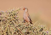 Trumpeter Finch Rhodopechys githaginea adult male, feeding on thorny bush, near Erg Chebbi, Morocco, february