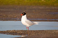 Mediterranean Gull Larus melanocephalus adult, summer plumage, standing in pool, Suffolk, England, february