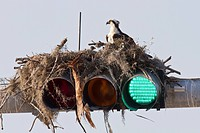 Osprey Pandion haliaetus adult with chick, sitting at nest built on top of traffic lights, Venice, Florida, U S A
